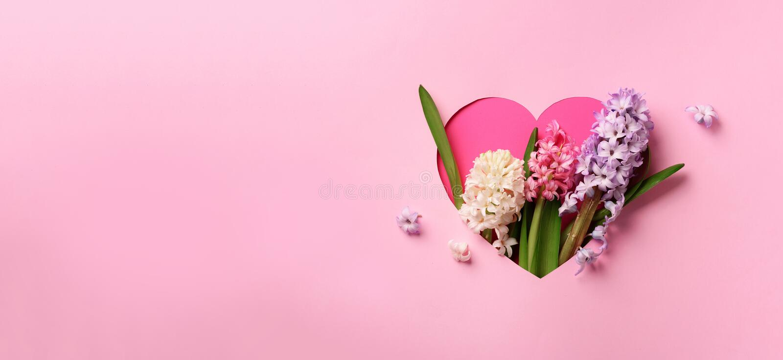 Hyacinth flowers in hole in heart shaped form over pink punchy pastel background. Top view, flat lay. Banner. Spring, summer or stock image