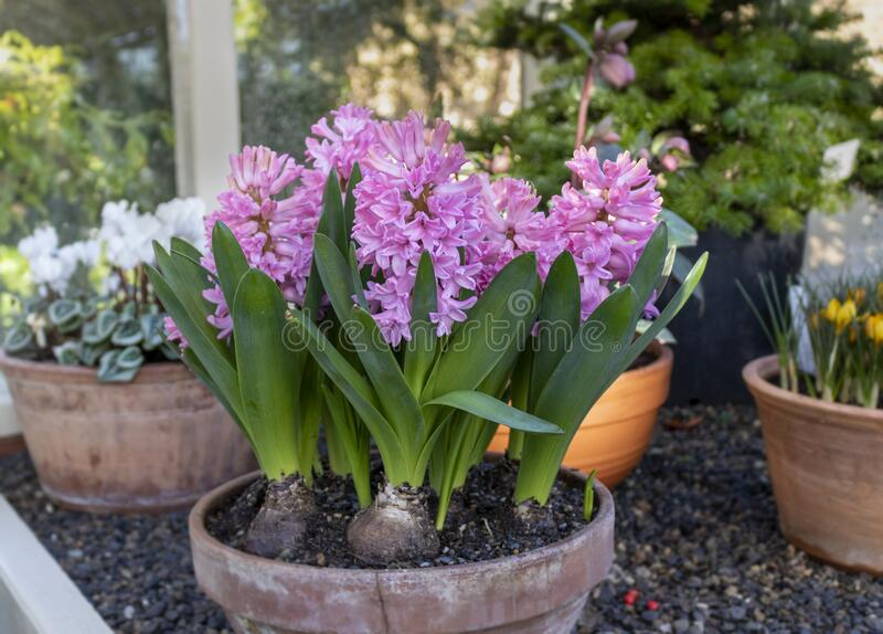 Hyacinth flowers in pot. Hyacinth blossom. Close-up purple or lilac hyacinthus flowers in pot indoors stock images