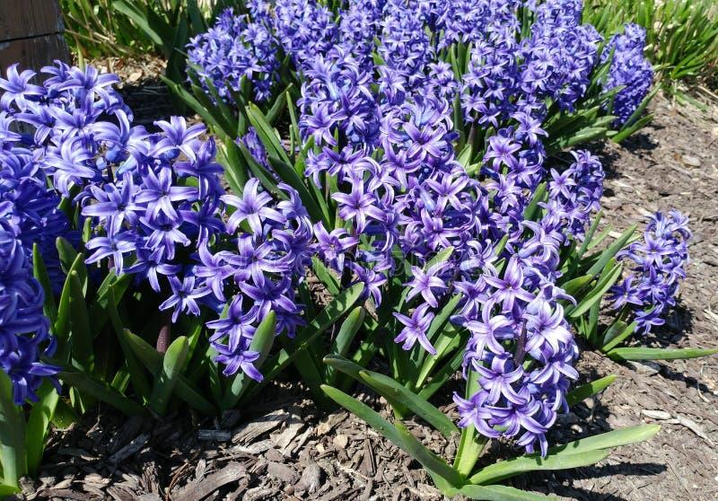 Hyacinth Flowers pourpre en pleine floraison photographie stock libre de droits