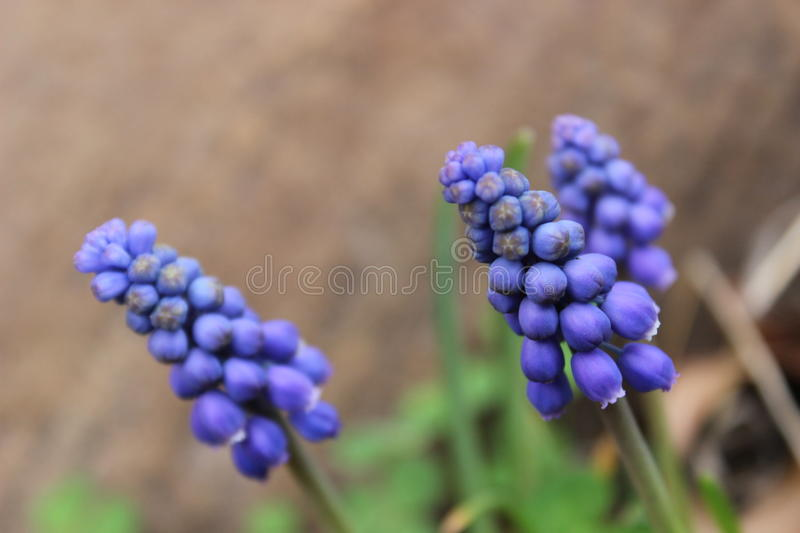 Hyacinth. Grape hyacinth popping up in spring royalty free stock photo