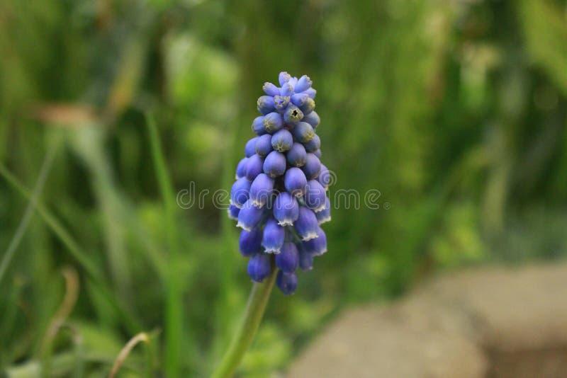 Hyacinth Highly Detailed azul fotografia de stock