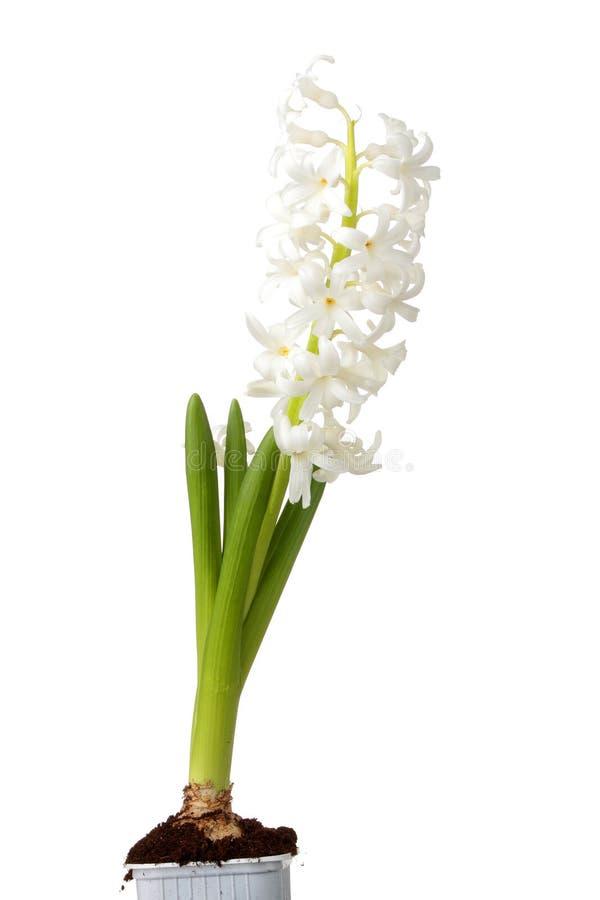 Hyacinth isolado foto de stock