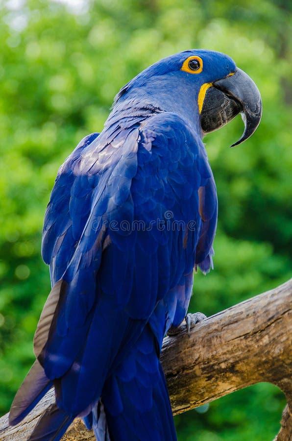 Hyacinth Macaaw bird stock image