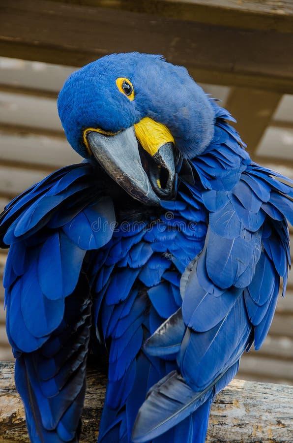 Hyacinth Macaaw-vogel royalty-vrije stock fotografie