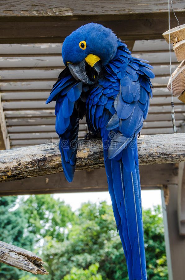 Hyacinth Macaaw-vogel stock foto