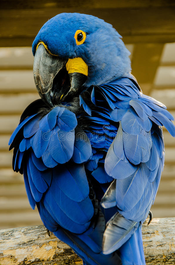 Hyacinth Macaaw-vogel royalty-vrije stock afbeelding