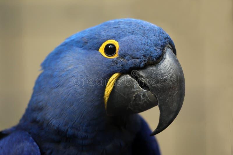 Hyacinth Macaw royalty-vrije stock fotografie