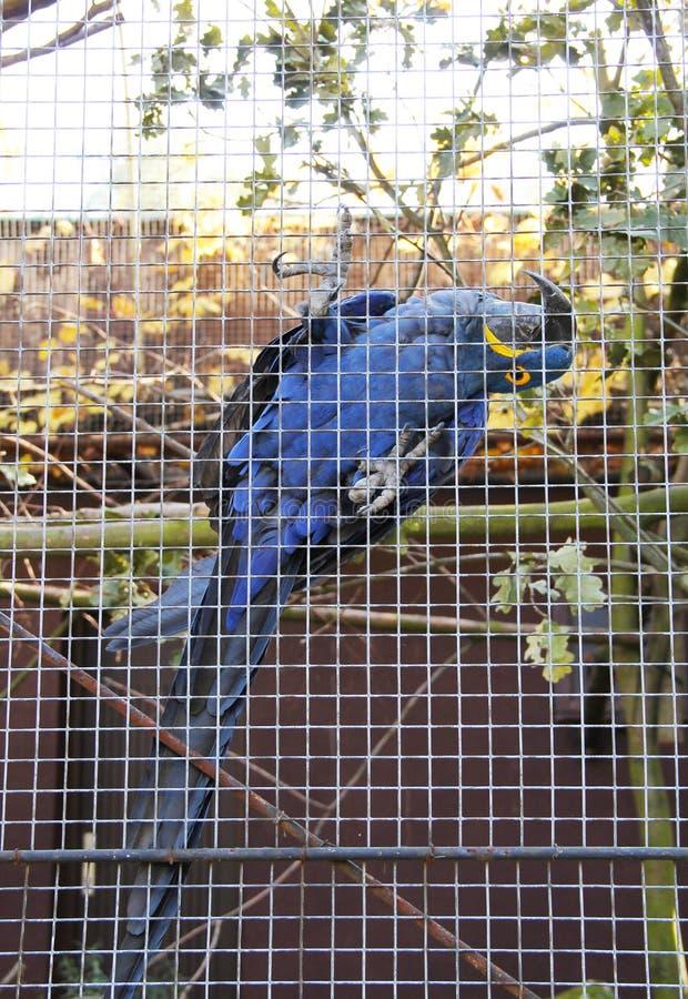 Hyacinth Macaw stock fotografie