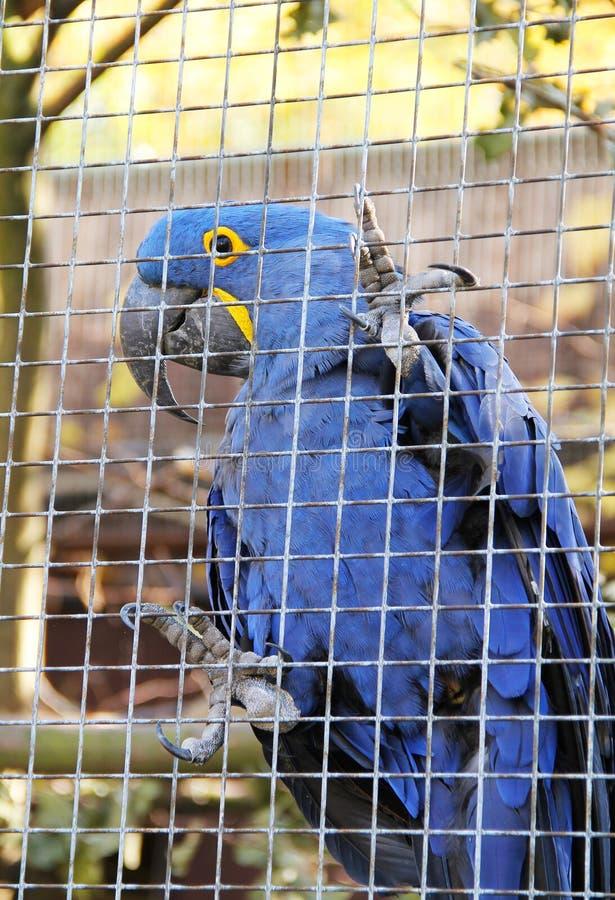 Hyacinth Macaw stock foto's