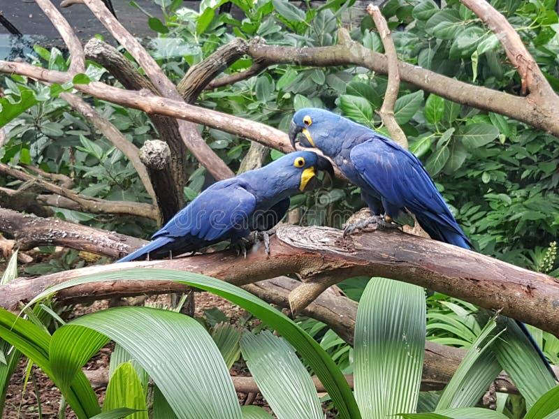Hyacinth Macaw foto de archivo libre de regalías