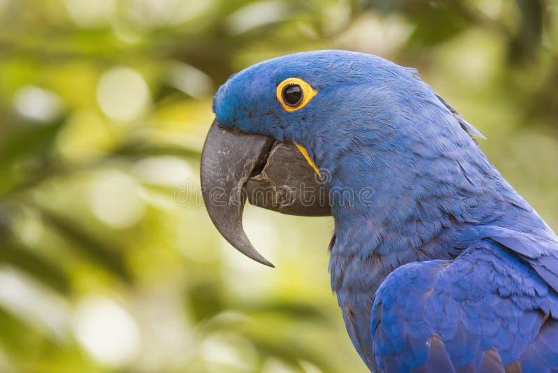 Hyacinth Macaw royaltyfri bild