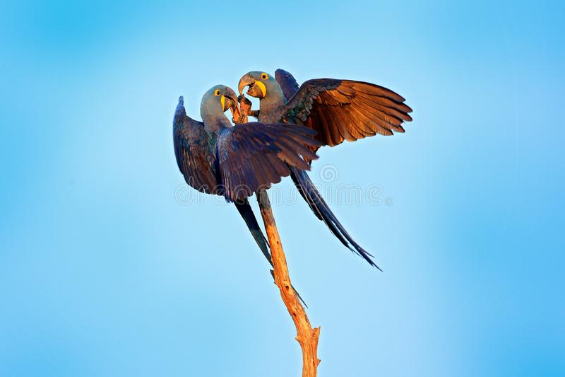 Hyacinth Macaw, Anodorhynchus hyacinthinus, big blue parrot sitting on the branch with dark blue sky, Pantanal, Brazil, South Amer. Ica. Two bird fight in the royalty free stock image