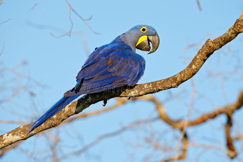 Hyacinth Macaw, Anodorhynchus hyacinthinus, big blue parrot sitting on the branch with dark blue sky, Pantanal, Brazil, South Amer. Ica royalty free stock images