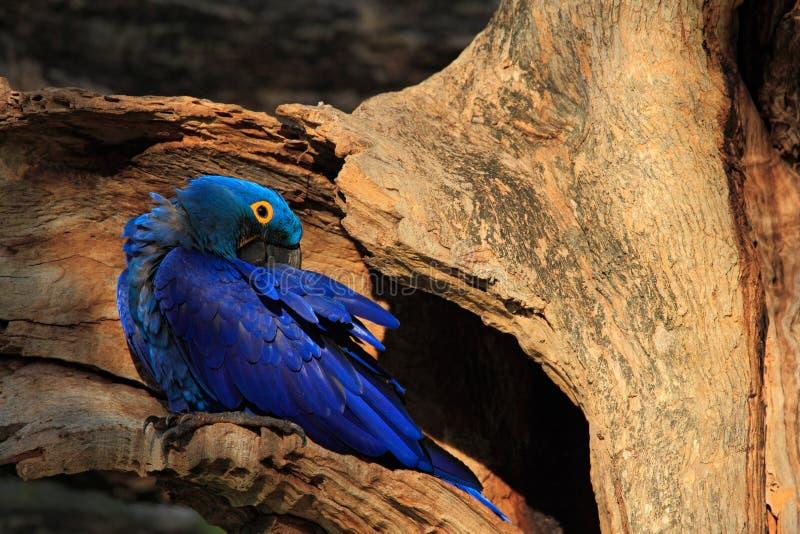 Hyacinth Macaw, Anodorhynchus-hyacinthinus, großer blauer seltener Papagei in der Baumnisthöhle, Vogel im Naturwaldlebensraum, Pa stockfotografie