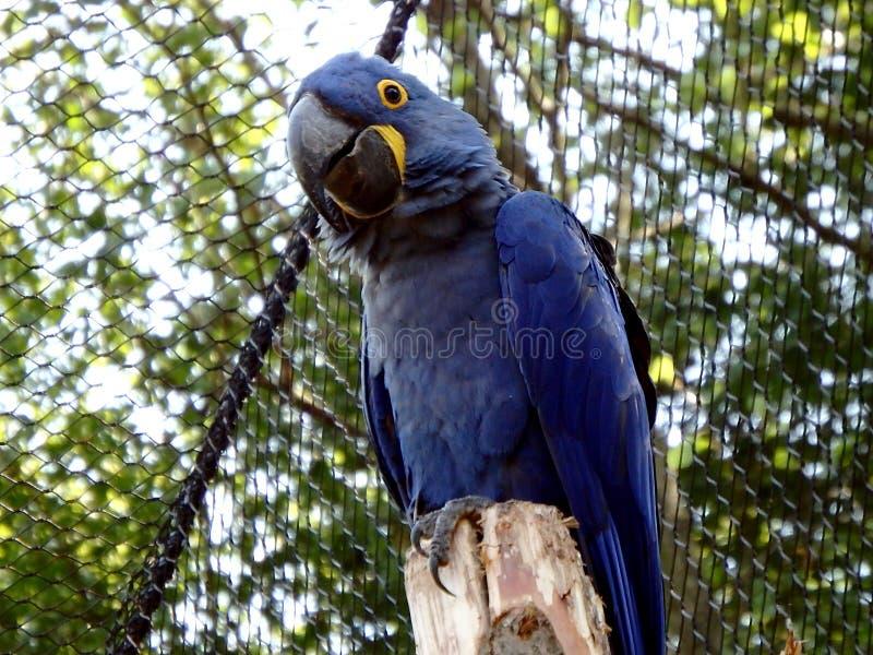 Hyacinth macaw Anodorhynchus hyacinthinus. Hyacinthine macaw, blue parrot royalty free stock photography
