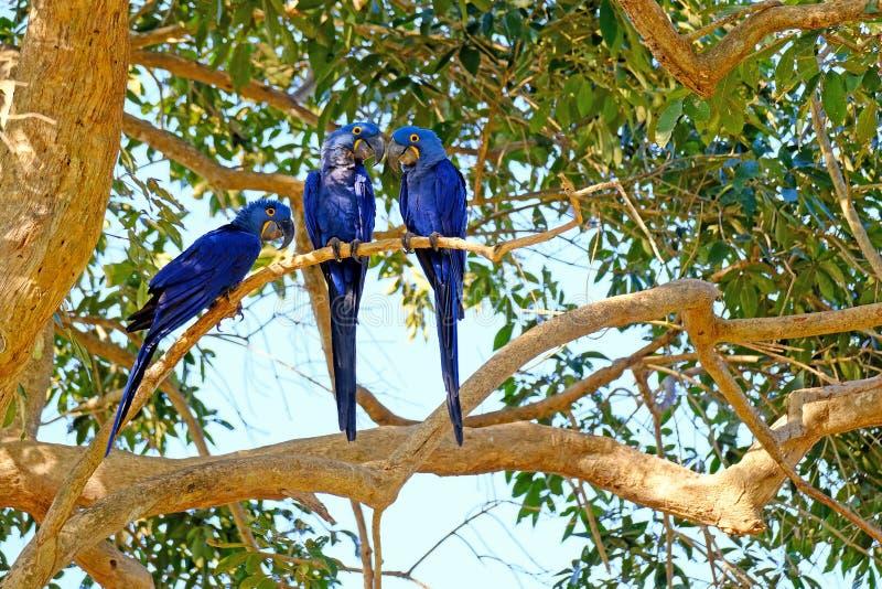 Hyacinth Macaw, Anodorhynchus Hyacinthinus, ou ara de Hyacinthine, Pantanal, Mato Grosso do Sul, Brésil image stock