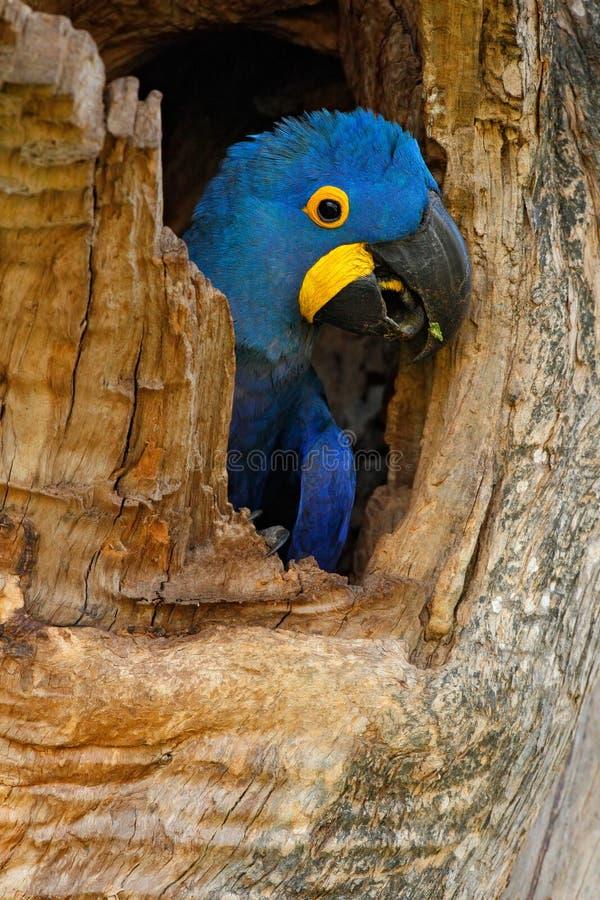 Hyacinth Macaw Anodorhynchus hyacinthinus, stor blåttpapegoja i hålet för trädredehål, fågel i naturlivsmiljömatoen Grosso, flåsa arkivfoto