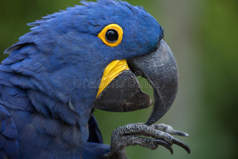 Hyacinth macaw Anodorhynchus hyacinthinus. Wildlife animal royalty free stock image