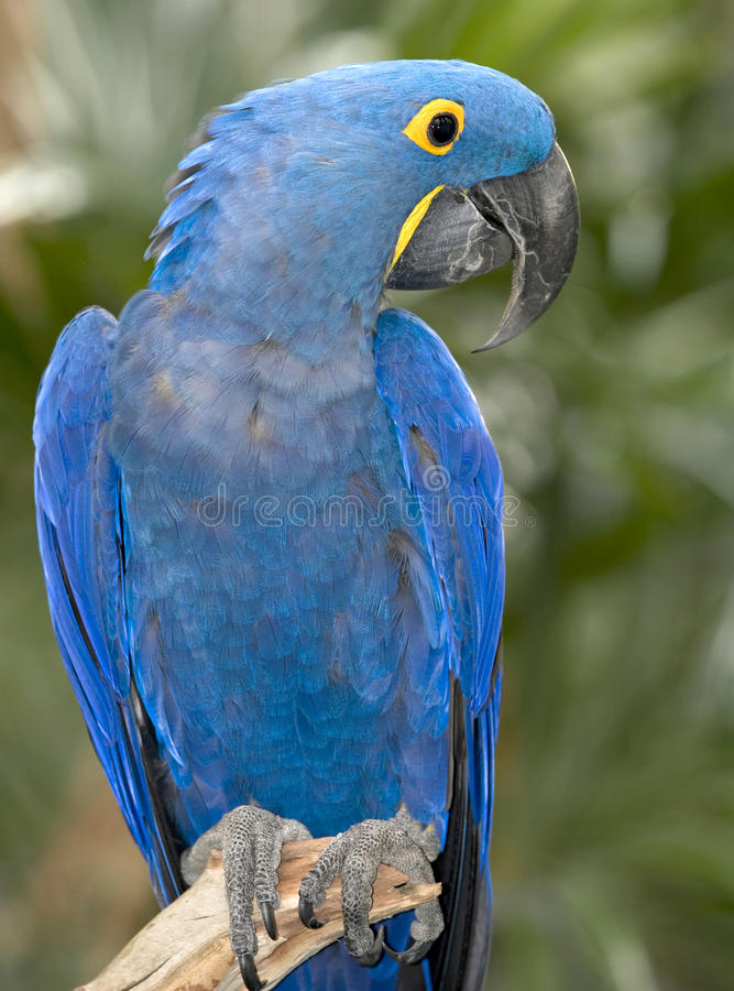 Hyacinth macaw blue bird parrot brazil pantanal 1. Giant hyacinth macaw side profile found in brazilian pantanal, south america royalty free stock photo