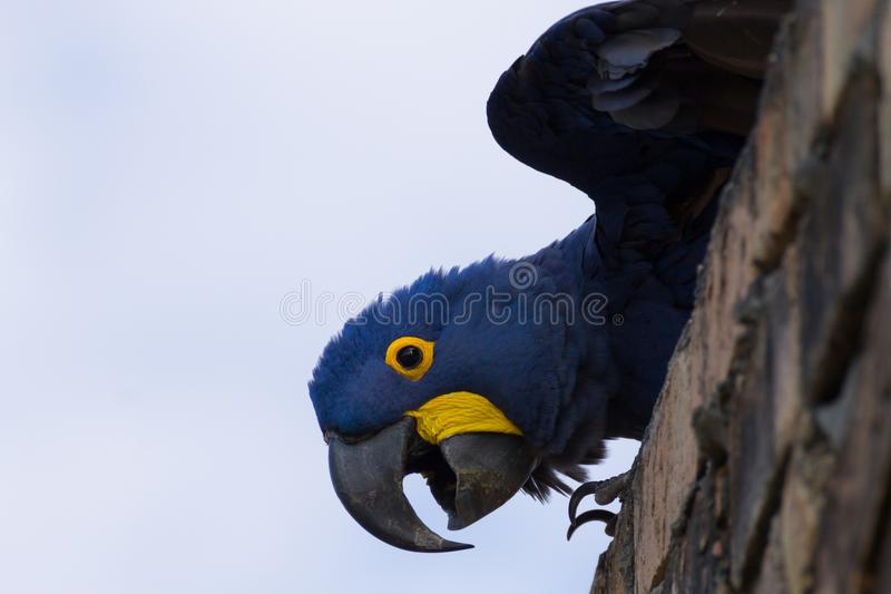 Hyacinth macaw close up, Brazilian wildlife. Hyacinth macaw close up from Pantanal, Brazil. Brazilian wildlife. Biggest parrot in the world. Anodorhynchus royalty free stock photos