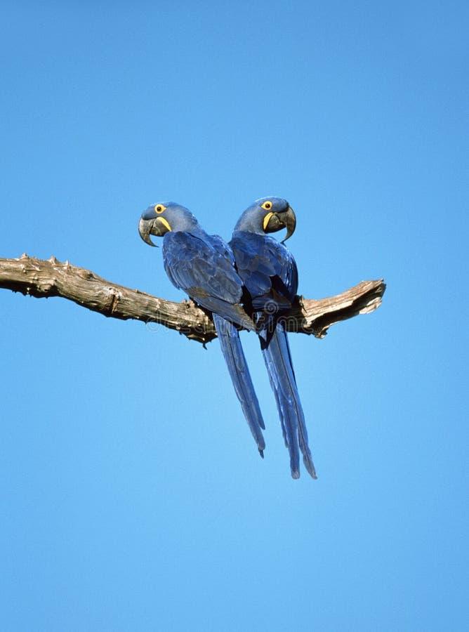 Hyacinth Macaw, Hyacinthara, hyacinthinus d'Anodorhynchus image stock