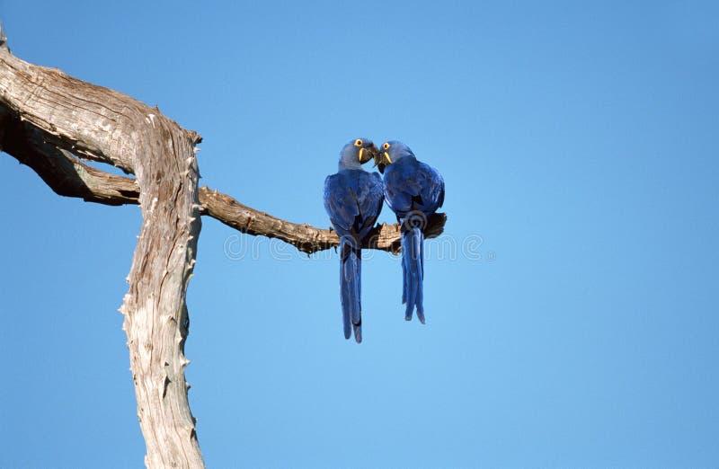 Hyacinth Macaw, Hyacinthara, hyacinthinus de Anodorhynchus imagem de stock