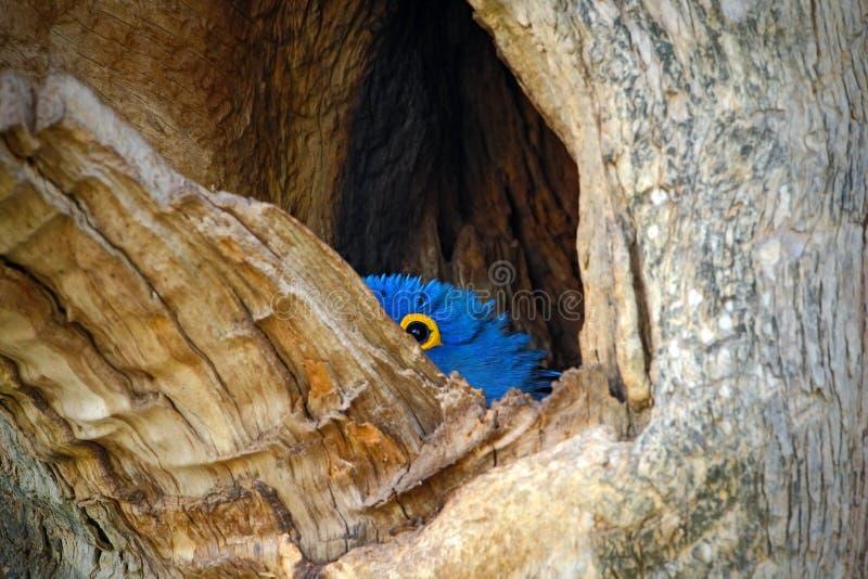 Hyacinth Macaw, hyacinthinus d'Anodorhynchus, grand perroquet bleu en cavité de trou de nid d'arbre, oiseau dans le mato Grosso,  photographie stock
