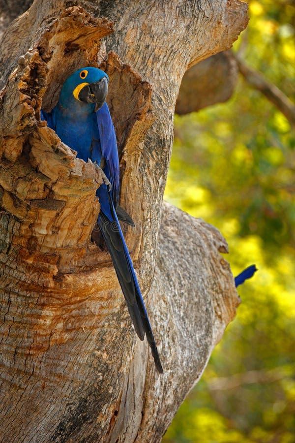 Hyacinth Macaw, hyacinthinus d'Anodorhynchus, perroquet bleu Grand perroquet bleu de portrait, Pantanal, Brésil, Amérique du Sud  photo stock