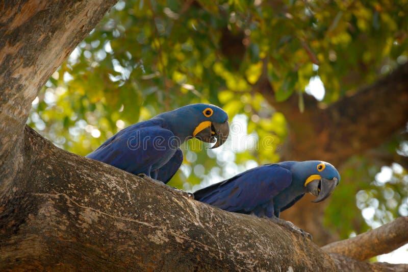 Hyacinth Macaw, hyacinthinus de Anodorhynchus, loro azul Loro azul grande del retrato dos, el Brasil, Suramérica Pájaro raro herm fotografía de archivo libre de regalías