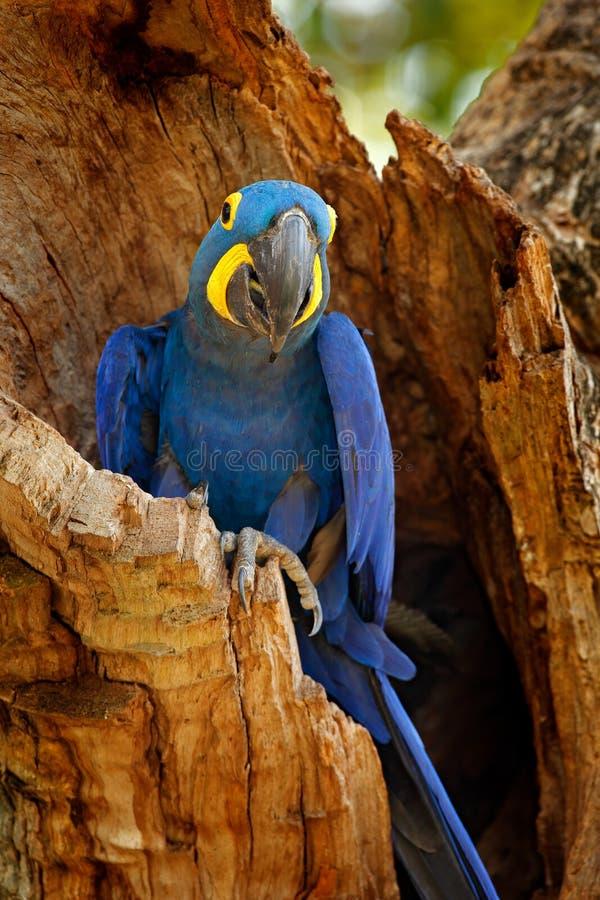 Hyacinth Macaw, hyacinthinus de Anodorhynchus, loro azul Loro azul grande del retrato, Pantanal, el Brasil, Suramérica Raro hermo imagenes de archivo
