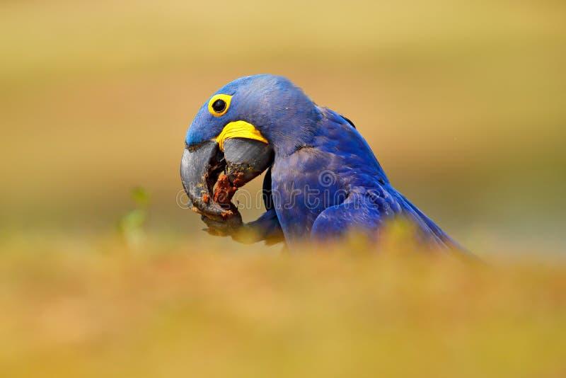 Hyacinth Macaw, hyacinthinus de Anodorhynchus, loro azul Loro azul grande del retrato, Pantanal, el Brasil, Suramérica Raro hermo imagen de archivo libre de regalías