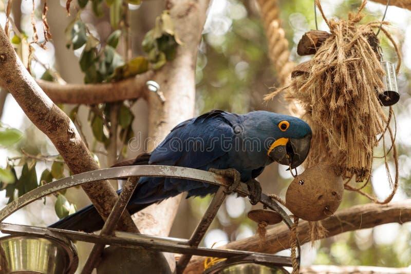 Hyacinth Macaw-Papagei Anodorhynchus-hyacinthinus lizenzfreie stockfotografie