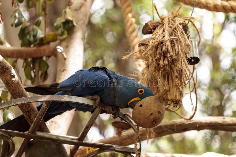 Hyacinth Macaw-Papagei Anodorhynchus-hyacinthinus lizenzfreies stockfoto