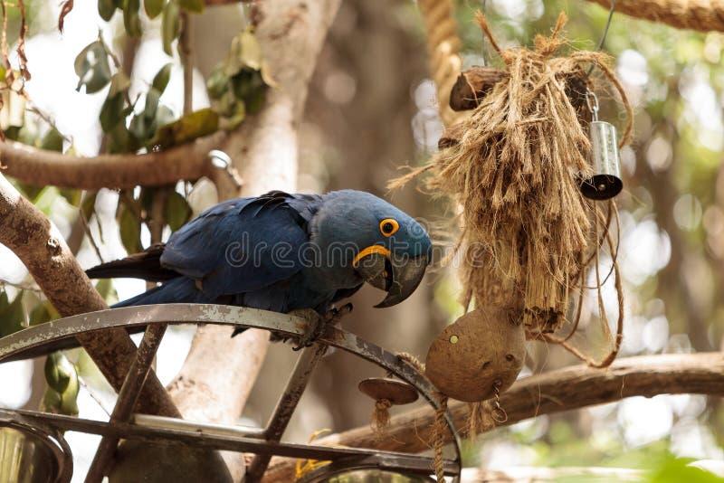 Hyacinth Macaw-Papagei Anodorhynchus-hyacinthinus lizenzfreie stockbilder