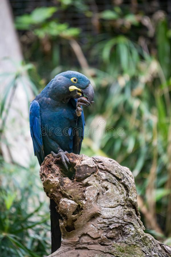 Hyacinth Macaw Parrot sitting in Branch and Cracking a Nut. South America royalty free stock image