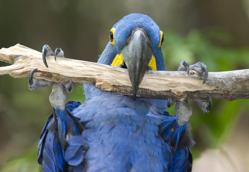 Hyacinth macaw playing in tree, pantanal, brazil royalty free stock image