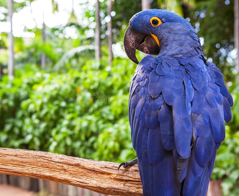 Hyacinth macaw playing in tree, pantanal, brazil, blue bird parrot.  stock images