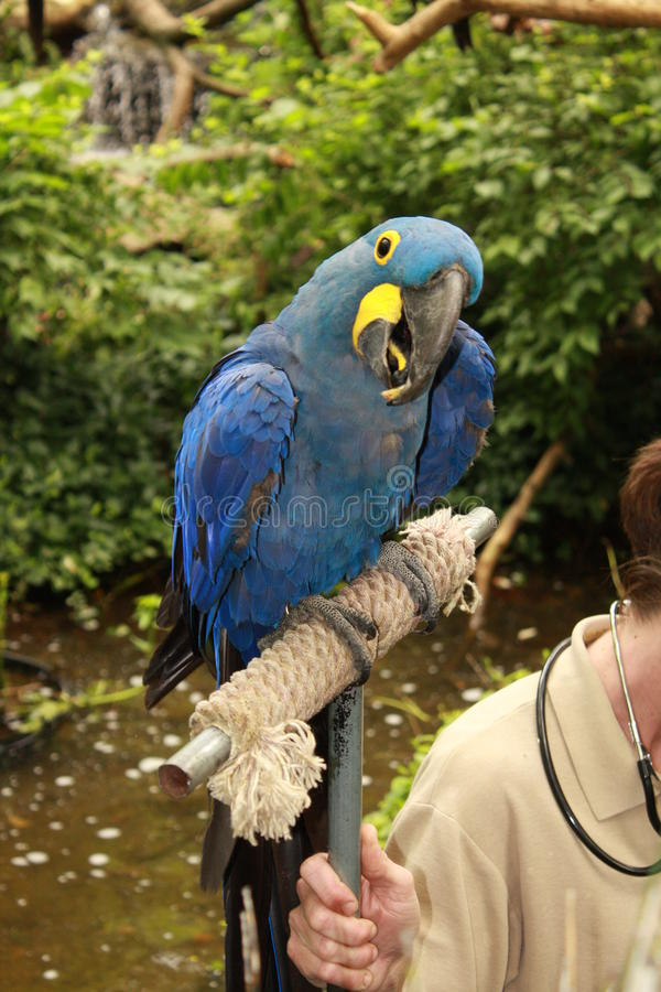 Hyacinth macaw portrait stock photography