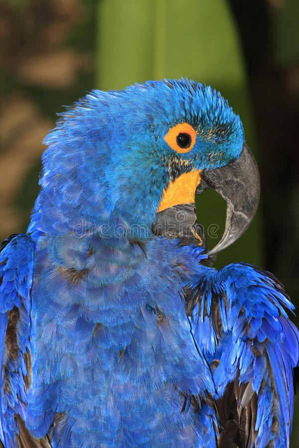 Download Hyacinth Macaw stock image. Image of preen, yellow, hyacynth - 39541487
