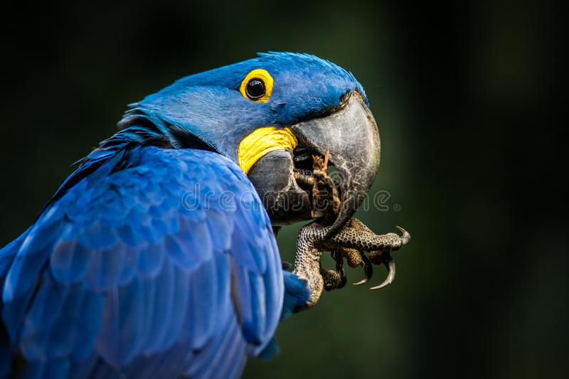 Hyacinth Macaw portrait in nature stock image