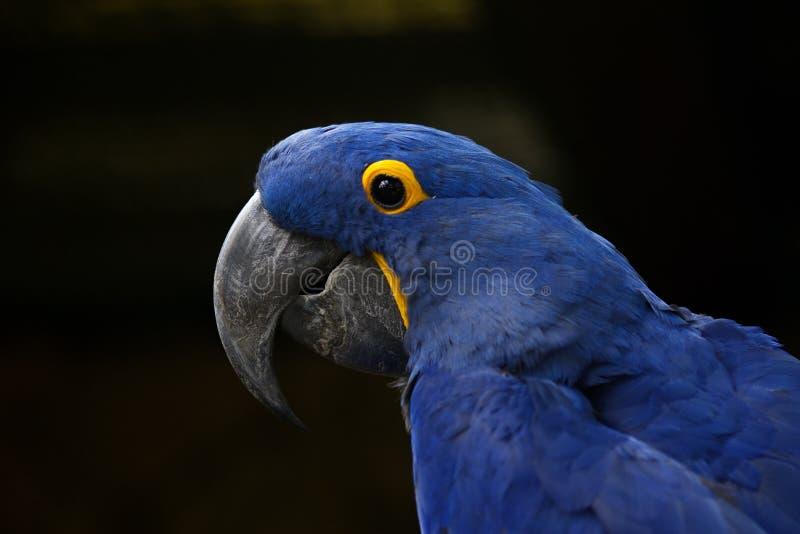 Hyacinth Macaw Retrato de un primer del macaw del jacinto fotografía de archivo