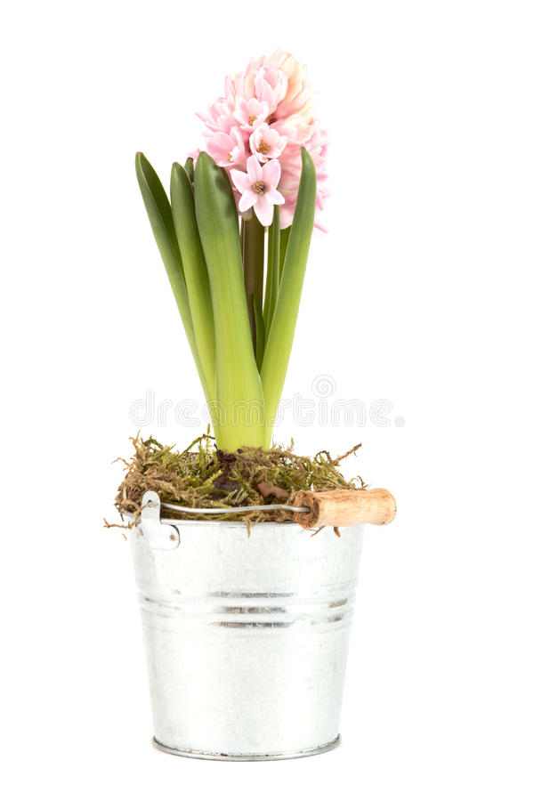 Download Hyacinth With Opened Blossom Stock Photo - Image: 23193626