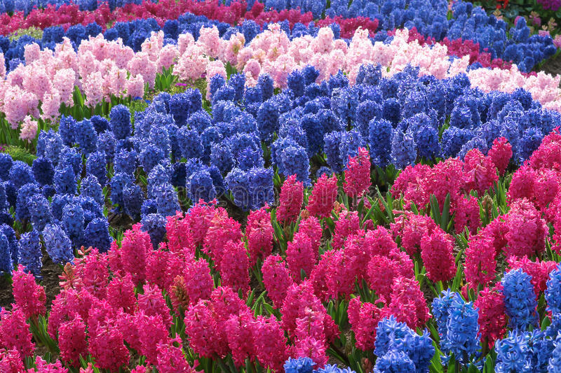 Hyacinth parterre. The many hyacinth flowers(Scientific name: hyacinthus orientalis) are blooming in parterre stock photos