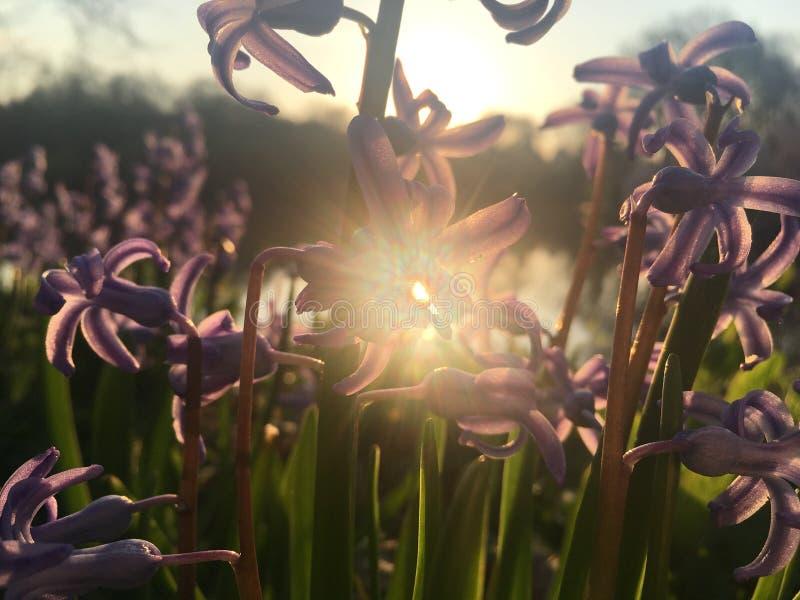 Hyacinth Plants Blossoming com as flores perfumadas roxas durante o nascer do sol na mola no Central Park em Manhattan, New York, imagens de stock royalty free