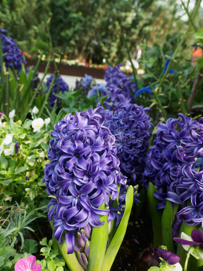 Hyacinth Purple Star fotografie stock libere da diritti