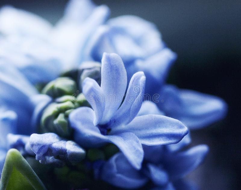 Hyacinth. Rain flower.He is a symbol of rebirth and incredible joy royalty free stock image