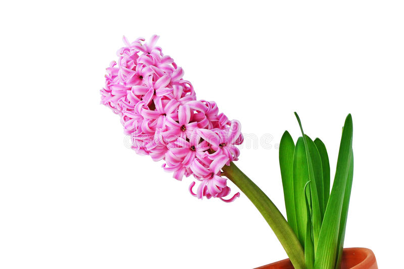Hyacinth on white stock photography