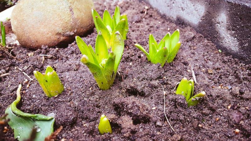 Hyacinthes fotografia stock libera da diritti