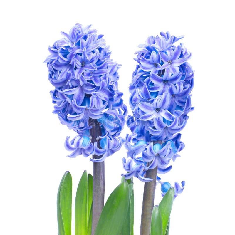Hyacinthes bleus photos libres de droits