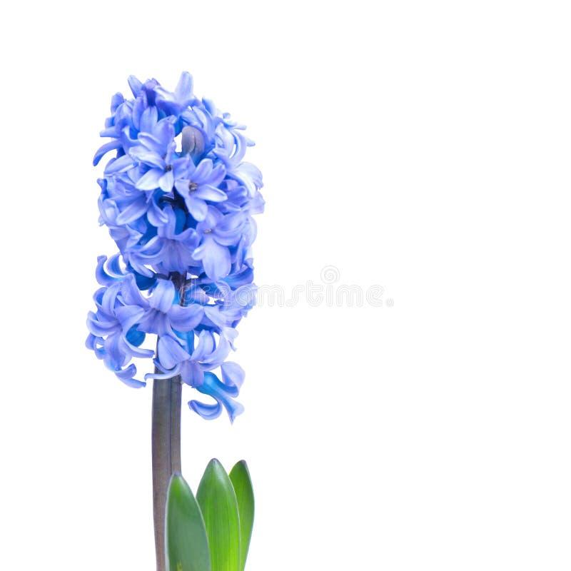 Hyacinthes bleus images stock